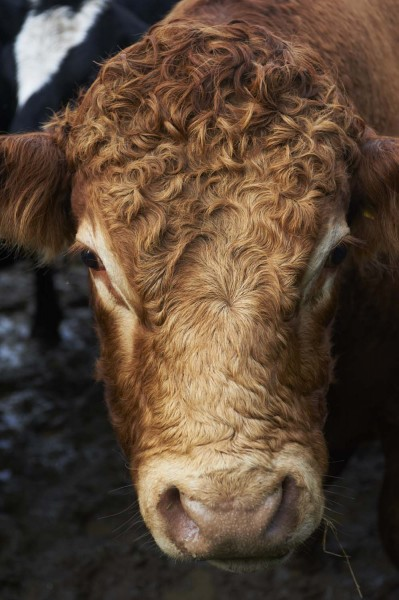 paulviant-photography-cow